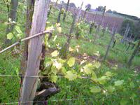 Vignes1juranconmai2006_4